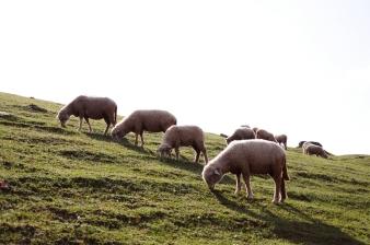 很多可愛小綿羊