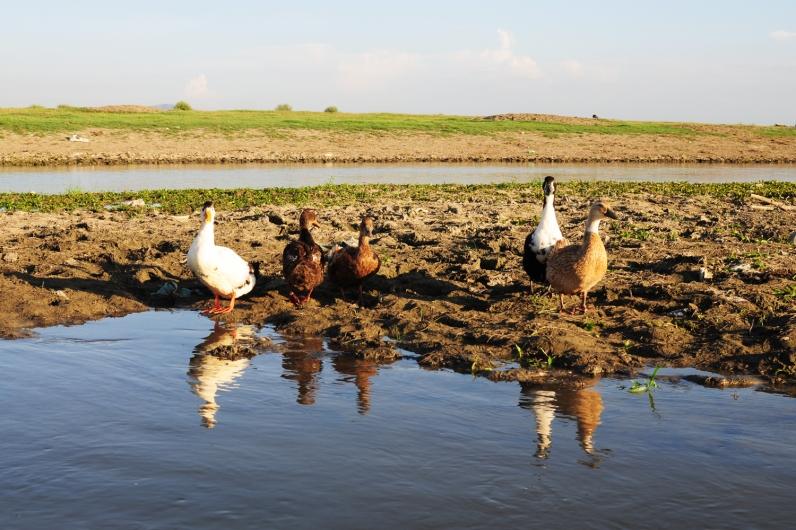 鵝鴨總成群
