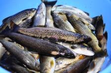 漁獲量頗多