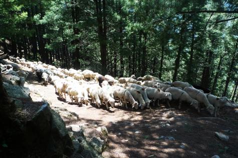 數不盡的羊群,預估500隻以上