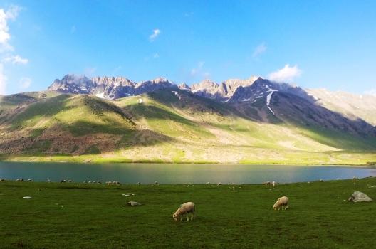 羊群們正大飽口福。2014年7月下旬