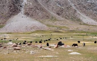拉達克河谷不似喀什米爾肥美,羊群少見,但氂牛卻不少