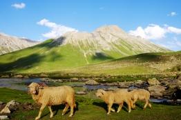 過境羊群(八月上旬)
