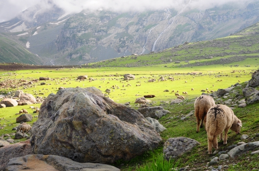 下午過境營區的羊群。2015年7月下旬